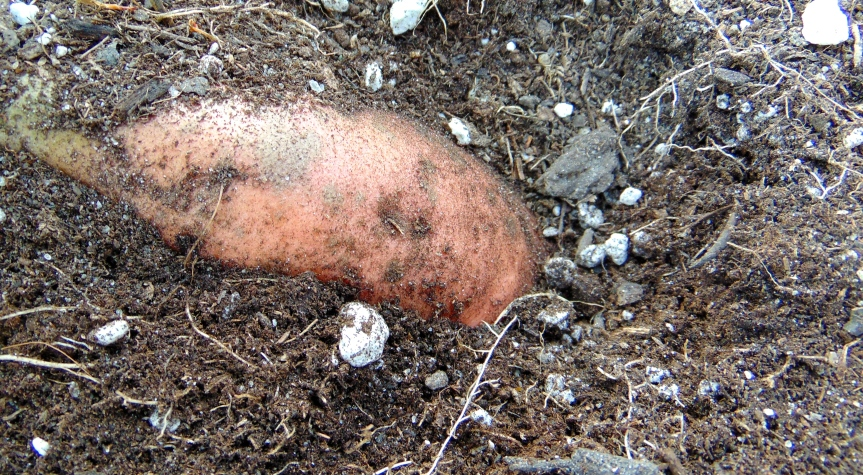 Growing Organic Sweet Potatoes inContainers