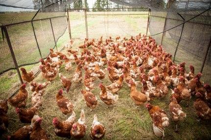 Hens-Range