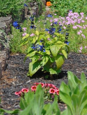 garden bed beginning to bloom