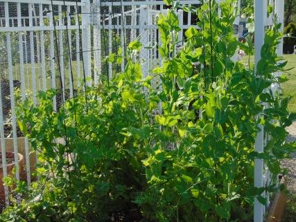 peas grow fairly tall