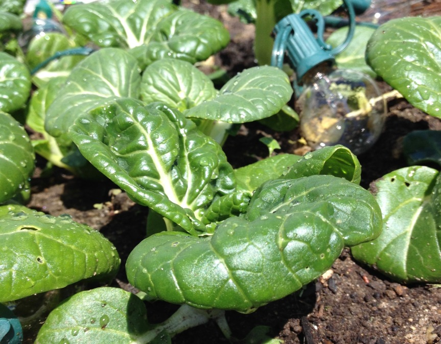 Growing Bok Choy