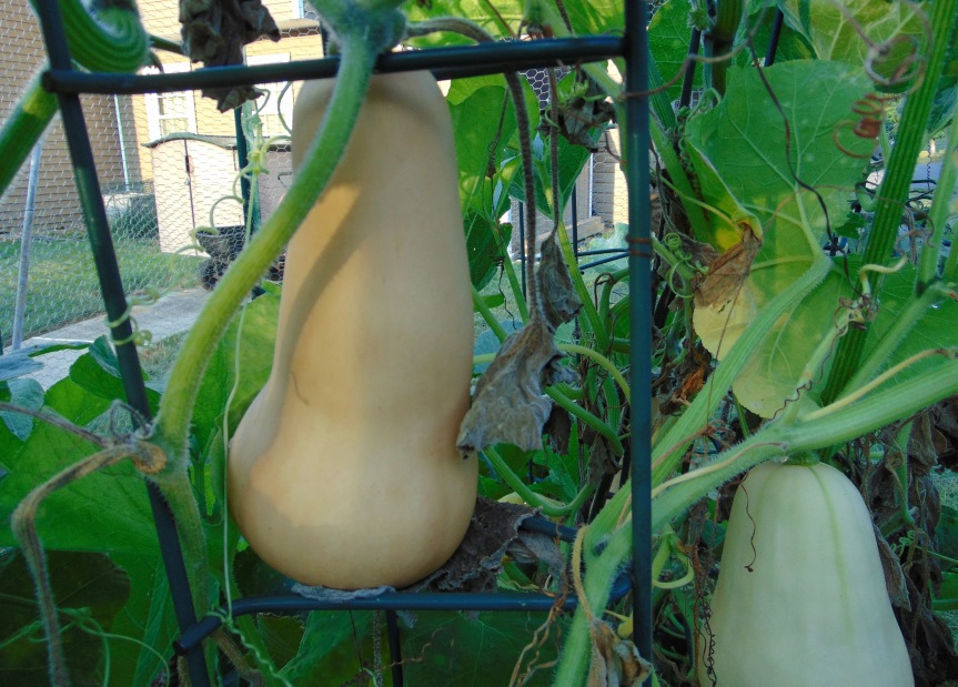 Growing Butternut Squash