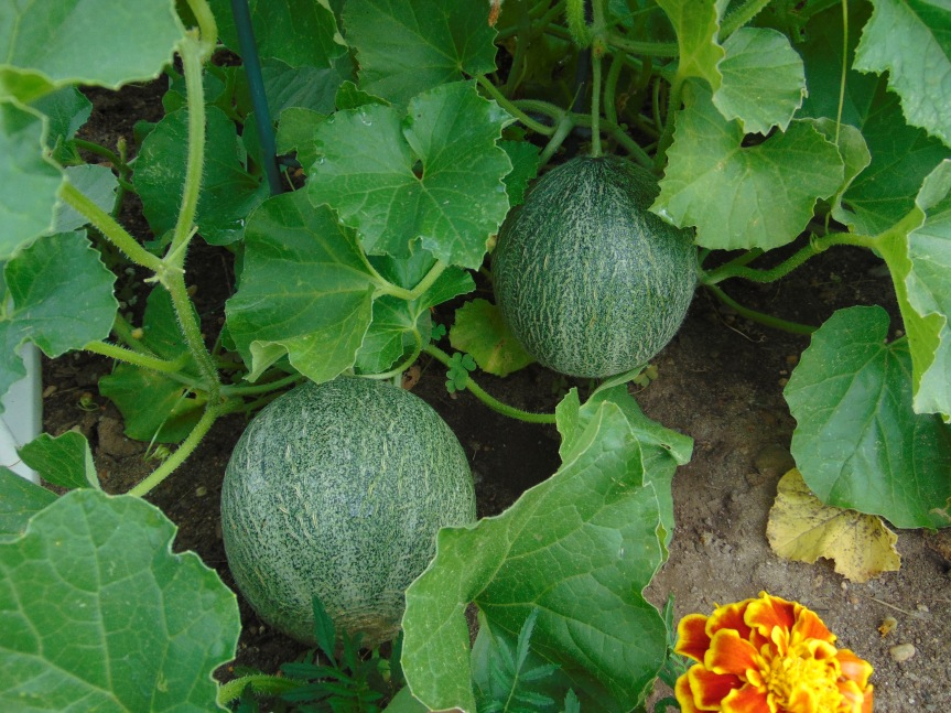 Growing Cantaloupe/Muskmelon